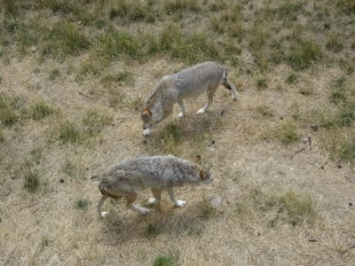 Two grey wolves sniff the gound