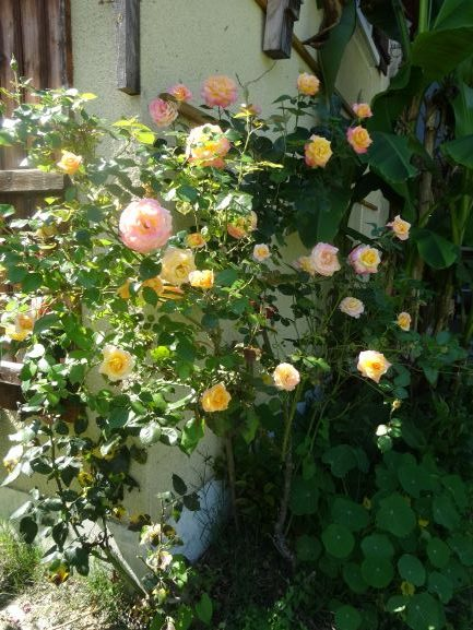 Image shows a rose bush in bloom